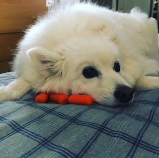 Sammy, an American Eskimo Dog