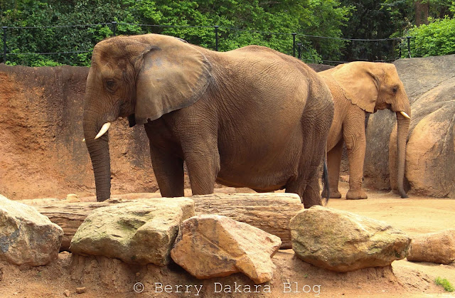berry dakara, atlanta, zoo, zoo atlanta, travel atlanta, discover georgia, atlanta tourist, elephants