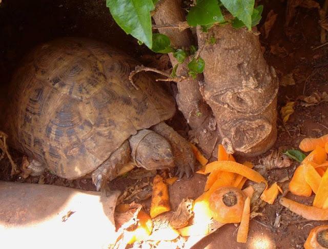 Żółw w Maroku je marchewkę