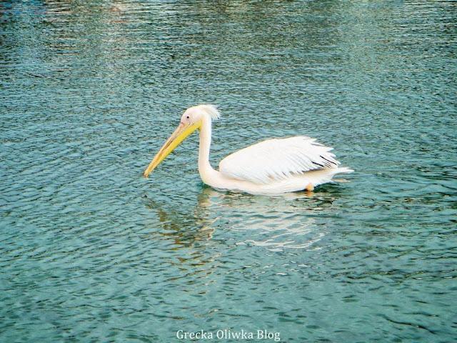 biały ptak z wielkim dziobem pelikan pływa po spokojnym greckim morzu