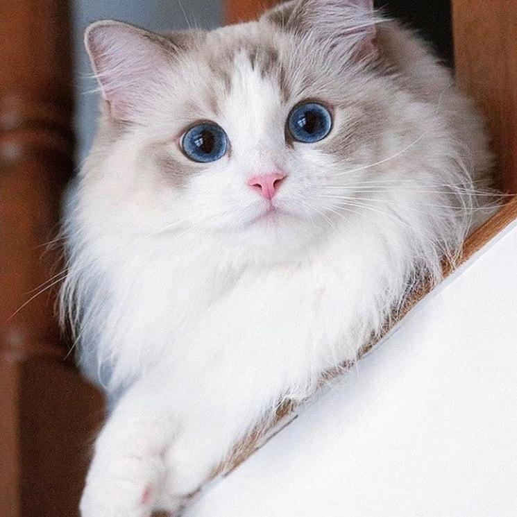 Unduh 61+  Gambar Kucing Hias Terbaik Gratis