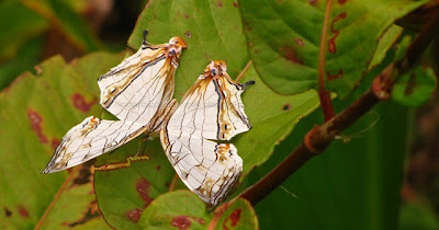 The Common Map, Cyrestis thyodamas, Butterflies of Garo Hills