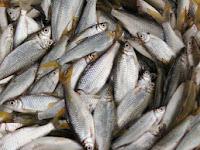 Kandungan Protein Ikan Pora-Pora