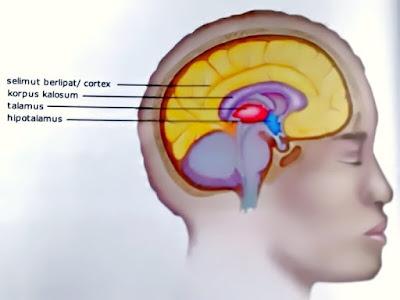 Gambar Sistem Saraf Pusat Otak Depan
