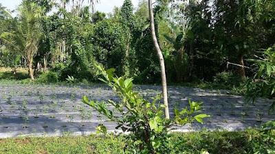 Pengembangan Lahan Pertanian Organik Di Bondowoso