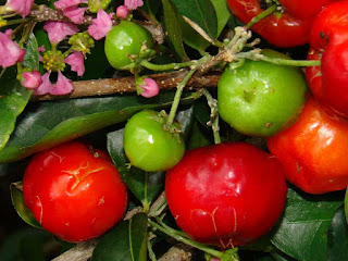 barbados cherry fruit images