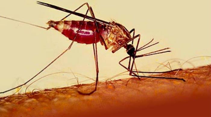 Menyembuhakan Malaria Dengan Obat Herbal
