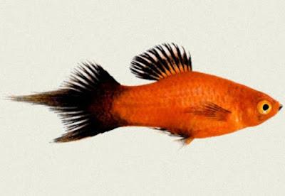 Gambar Ikan Platy Pintail Red Wagtail