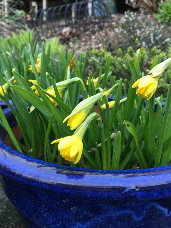 blue pot with daffodils just about to open