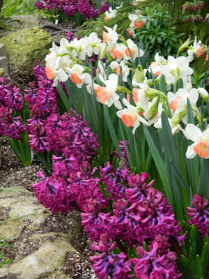 Pink Charm daffodils and purple hyacinths at Centennial Park Conservatory Spring Flower Show 2017 by garden muses-not another Toronto gardening blog