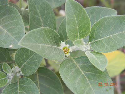 Ashwagandha Reduces Excessive Sweating