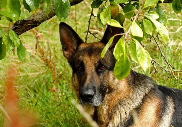 German Shepherd looking at the camera under a plum tree.