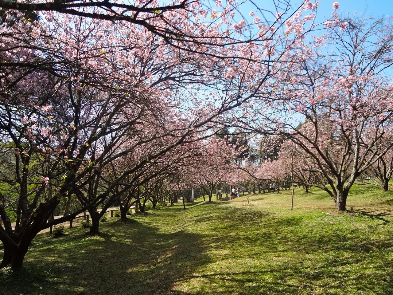 Amado A Florada das Cerejeiras em São Paulo ~ Áreas Verdes das Cidades  NG05