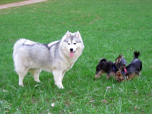 Two Yorkshire terriers and Siberian husky