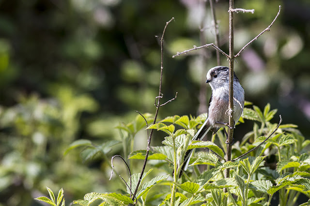 Long-tailed Tit looking for nesting material 3