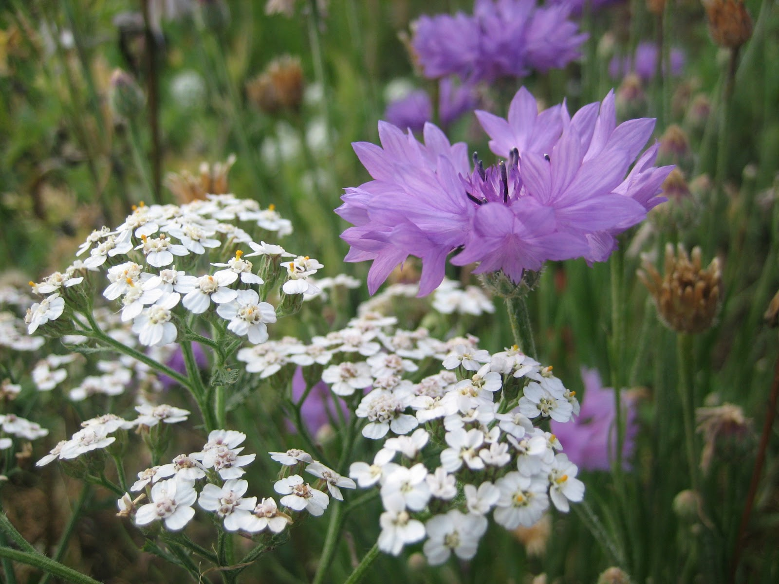 Flower Heads With Bright Blue Pink Purple Or White Ray And Disc Flowers In Picture Growing Together Yarrow On The Left Tall Grey Green