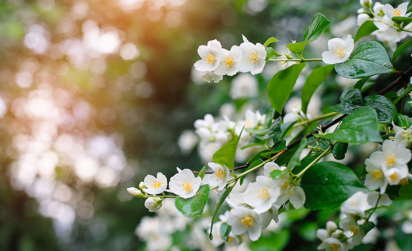 Connection with Jasmine# Spiritual Meaning#The elegance and Purity