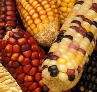 Maiz en economía de la cultura Aymara