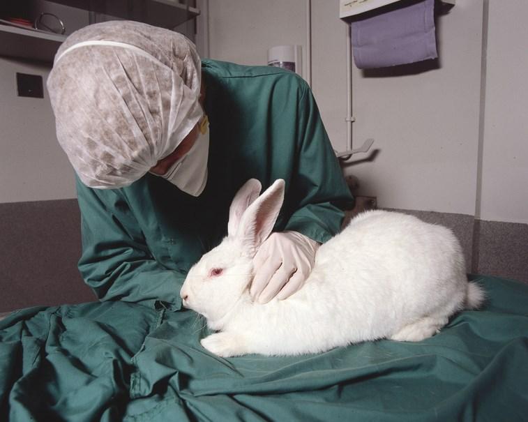 memelihara Kelinci percobaan di rumah cara memberi makan kelinci
