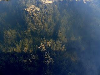 Plantas acuáticas en los canales del Fakahatchee Strand Forest