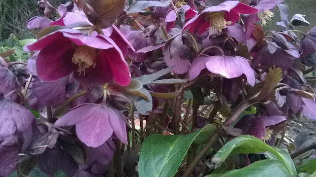 life between the flowers-Hellebores produce seedlings which can be grown into new plants