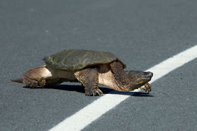 Snapping Turtle crossing city road