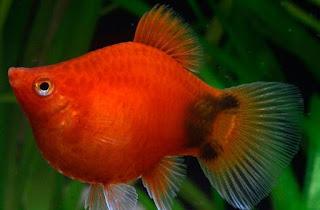 Gambar Ikan Koral Platy