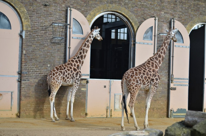 giraffes, London zoo