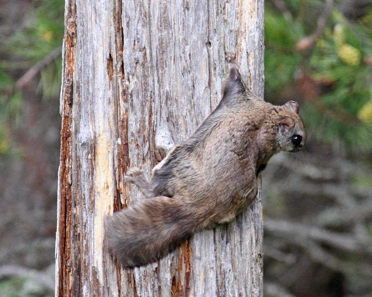 Mark & Teri's Travels: Rocky, the Flying Squirrel