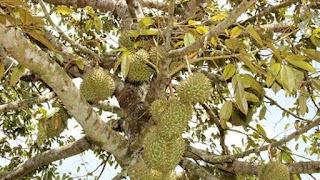 Bệnh thán thư cây sầu riêng