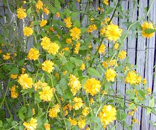 Arbustos con flores amarillas - Arbusto pequeno con flores ...