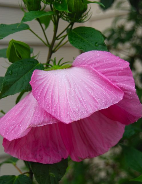 Large-flowered hardy hibiscus (Hibiscus moscheutos 'Pink Elephant') in our Driveway Garden is blooming away this month.