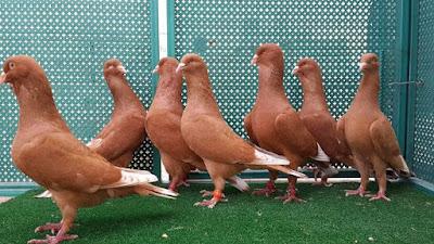 Libanais - lebanon pigeons - lebanon dewlap