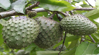 mountain soursop fruit images wallpaper