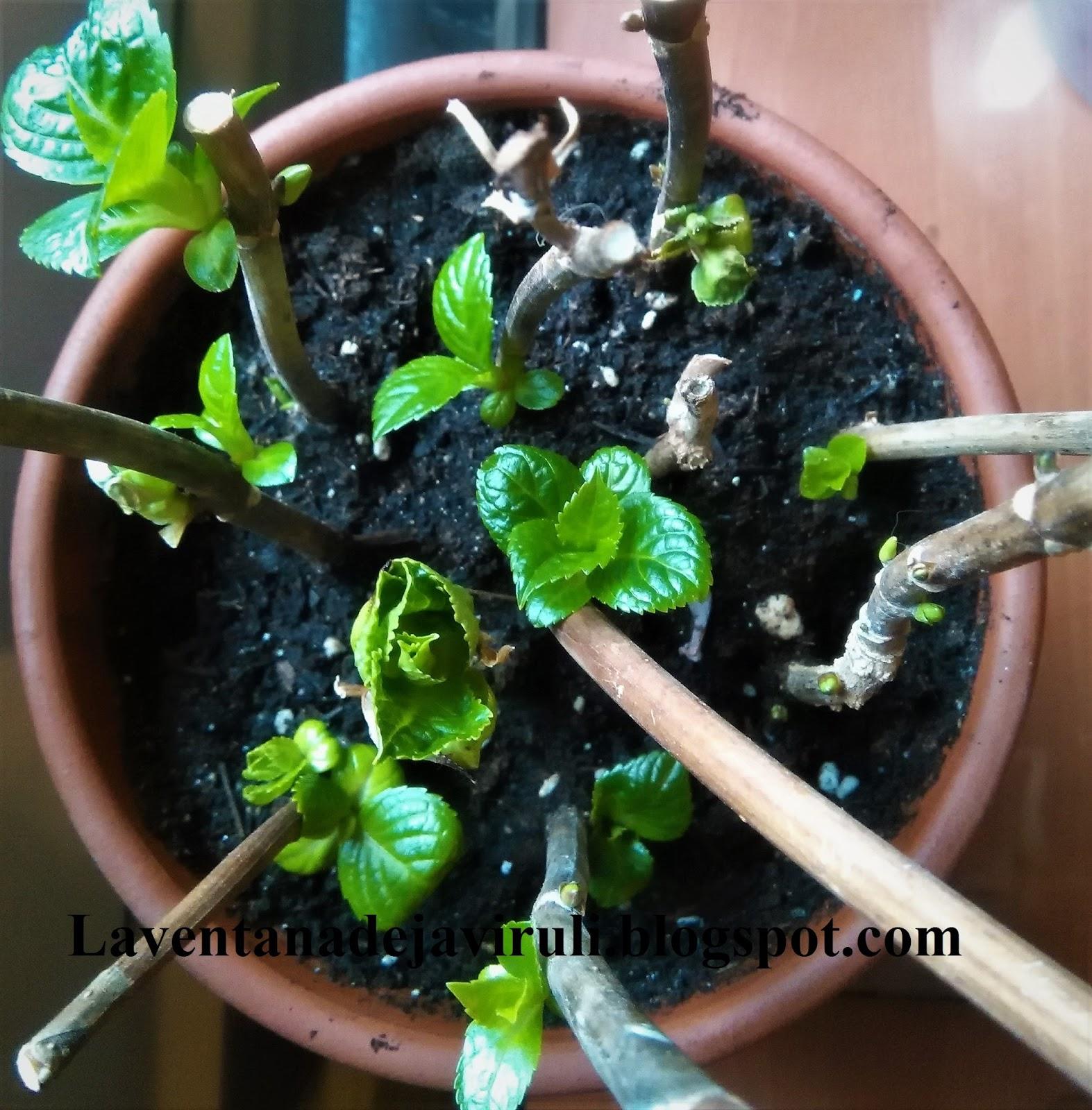 Cuidado De Hortensias En Maceta Excellent Cmo Cambiar El Color De