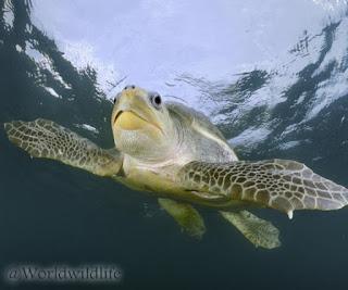 Penyu lekang (Olive ridley sea turtle)