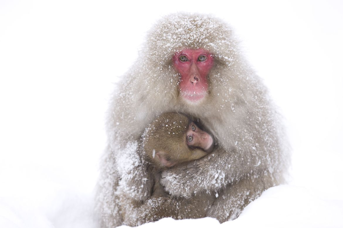 24. Photograph Snow monkey with baby by Menno Dekker