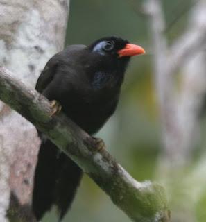 Suara burung poksay hitam