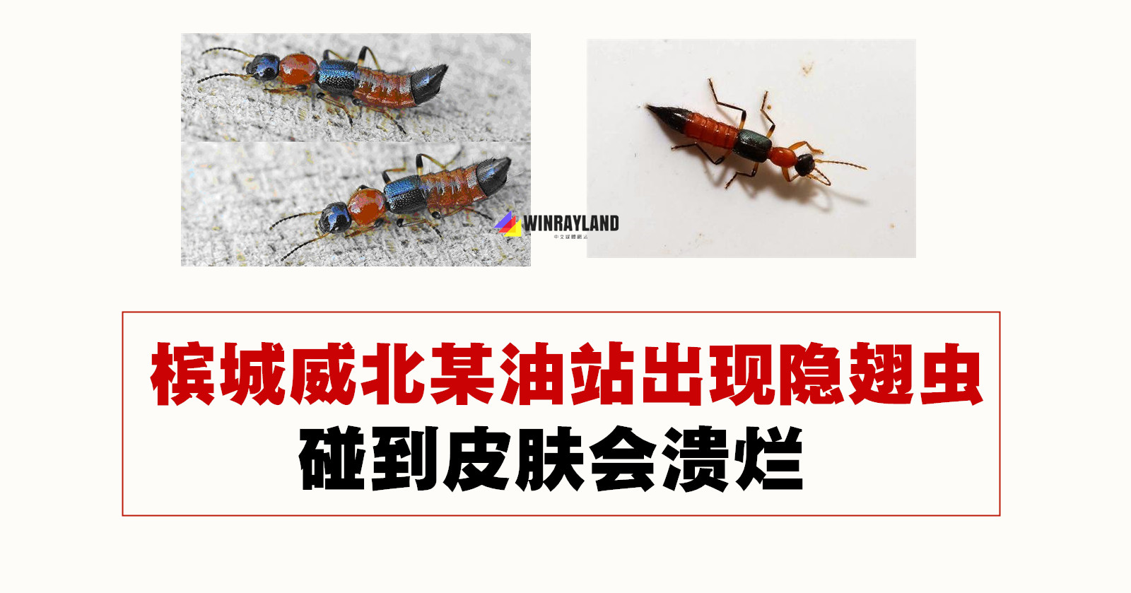 槟城威北某油站出现隐翅虫,碰到皮肤会溃烂