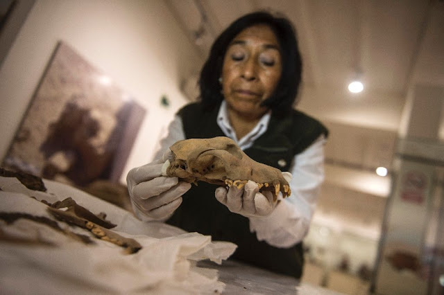 More dog burials found at sacrificial site in Peru