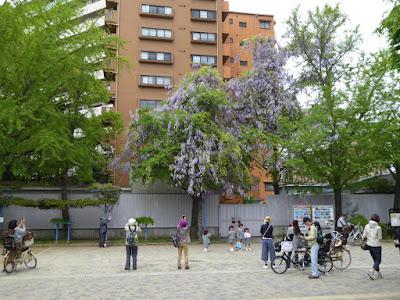 下福島公園 銀杏の木にまとわりついて花を咲かせる藤