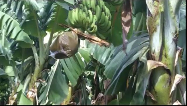 Banana-tree