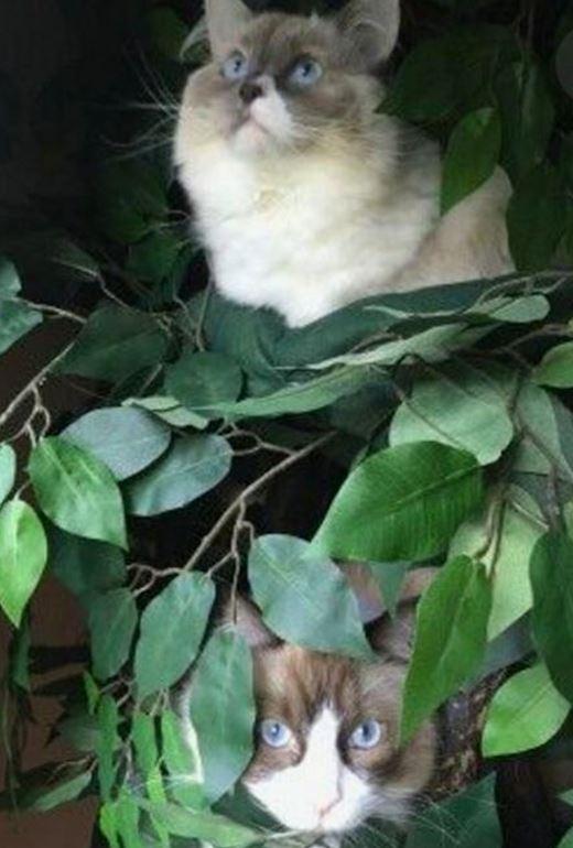 Ragdoll Cat Trees
