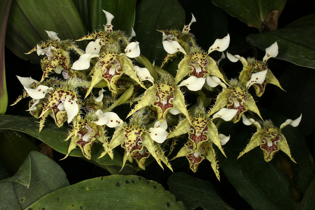 Dendrobium Polysema Care And Culture Travaldos Blog