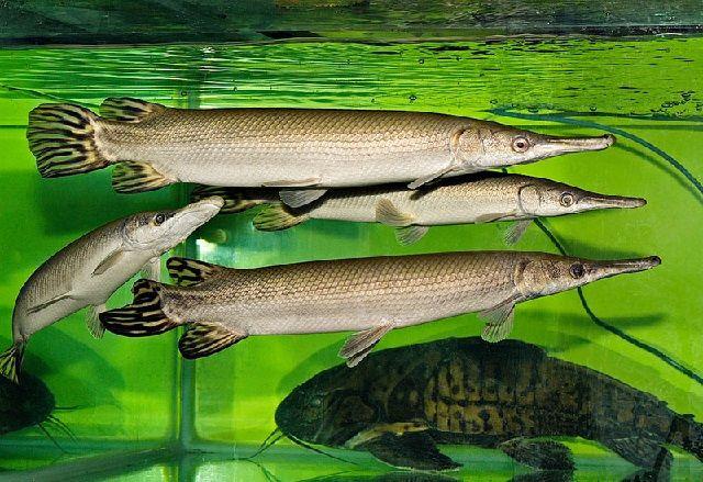 Cara Merawat Ikan Aligator