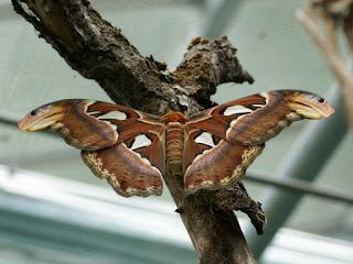 Attacus atlas - Bombyx atlas