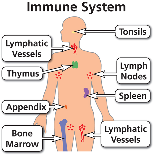 immune system boosters, immune system cells, immune system parts, immune system meaning, immune system vitamins, immune system diagram, immune system facts, immune system definition