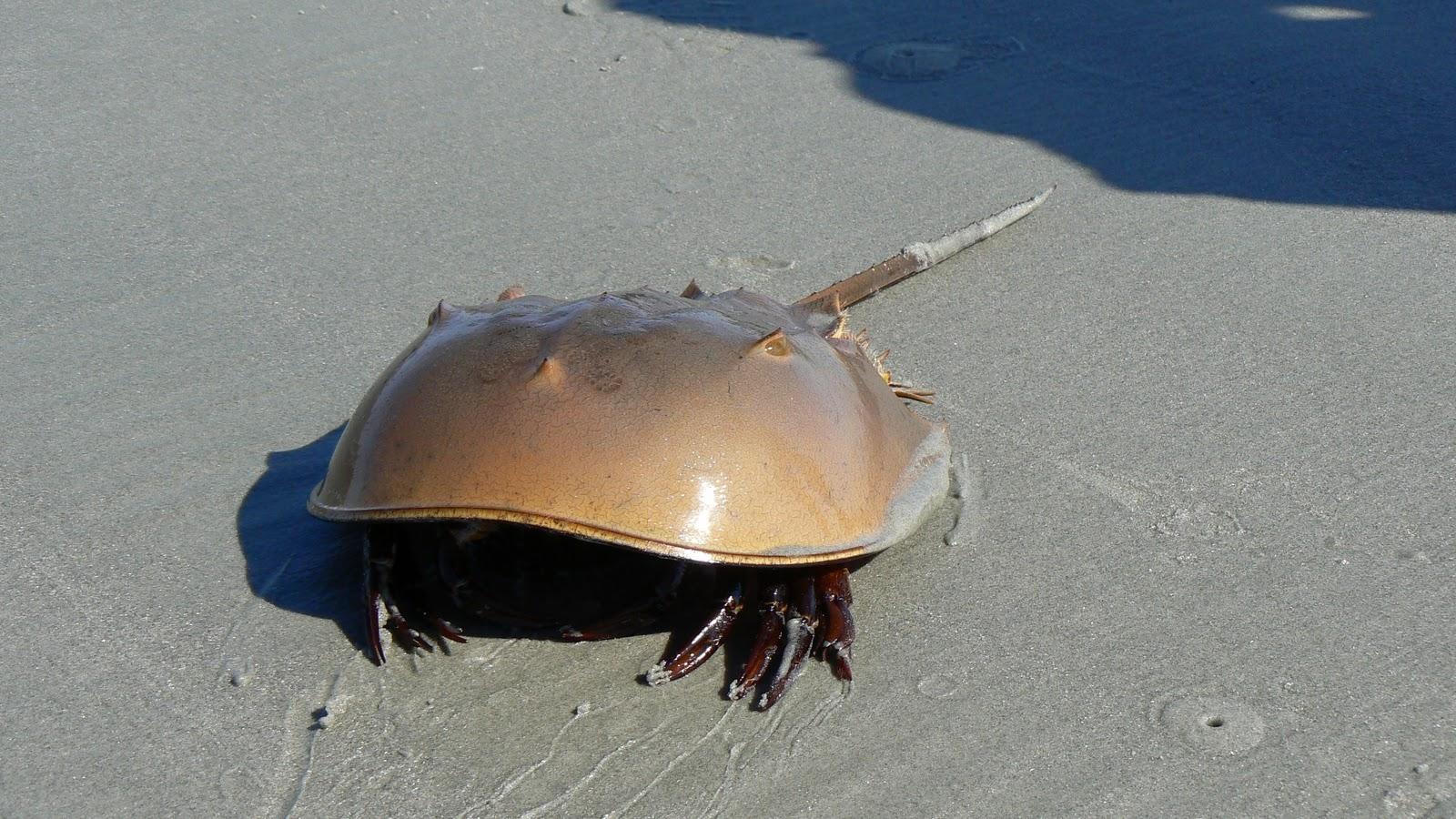 Info-Junction Blog: Mangrove Horseshoe Crab