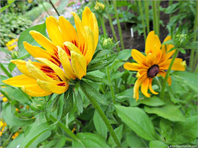 Flores del Jardín de la Mansión Ropes en Salem