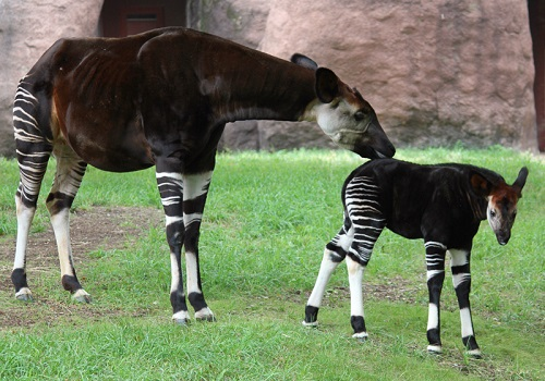 Okapi Nasıl Bir Hayvan